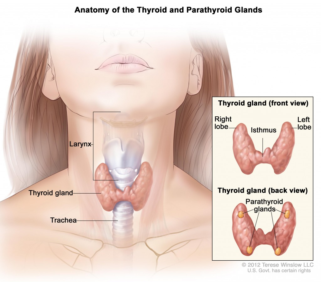 Captivating Picture of Thyroid and Parathyroid Glands Anatomy For Nice Study