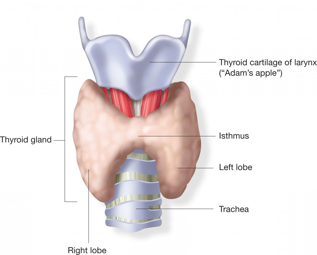 Well Picture also Attractive Explanation By Human Body of The Thyroid