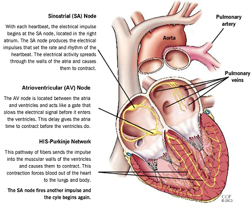 Human Heart Electrical System DIagram with Sinotrial Node and Purmonay Artery